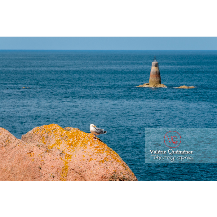 Goéland sur un rocher de granit rose sur l'île de Bréhat / Côtes d'Armor / Bretagne - Réf : VQFR22-0421 (Q2)