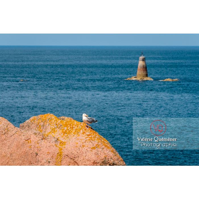 Goélands sur un rocher de granit rose sur l'île de Bréhat / Côtes d'Armor / Bretagne - Réf : VQFR22-0421 (Q2)