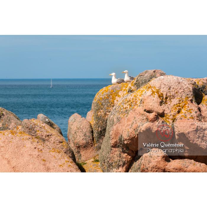 Goélands sur un rocher de granit rose sur l'île de Bréhat / Côtes d'Armor / Bretagne - Réf : VQFR22-0422 (Q2)
