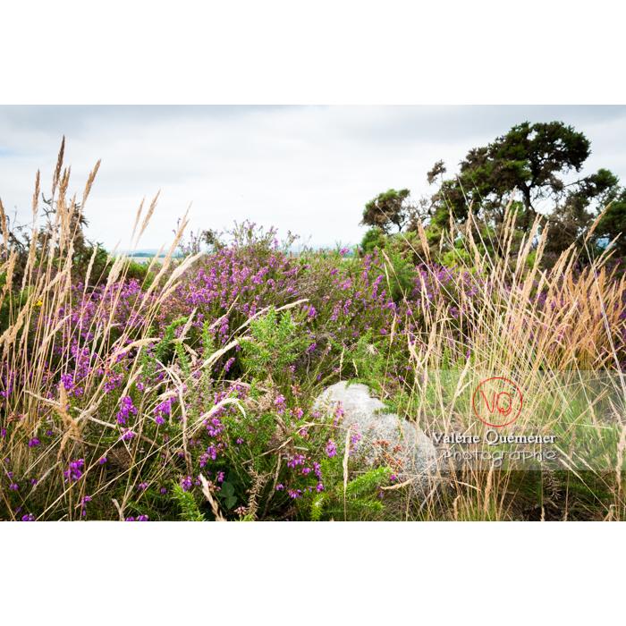 Paysage de landes de bruyères et graminées à Locarn / Côtes d'Armor / Bretagne - Réf : VQFR22-0520 (Q2)