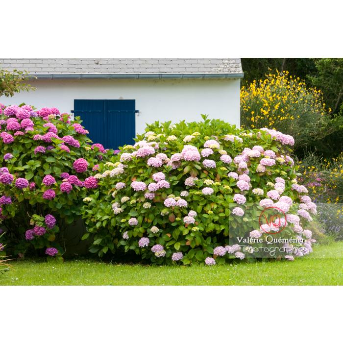 Massif d'hortensia devant la façade d'une maison sur l'île de Bréhat / Côtes d'Armor / Bretagne - Réf : VQFR22-1007 (Q2)
