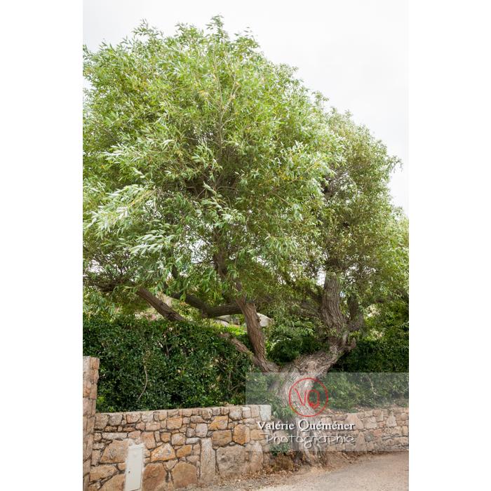 Arbre penché par le vent sur l'île de Bréhat / Côtes d'Armor / Bretagne - Réf : VQFR22-1008 (Q2)