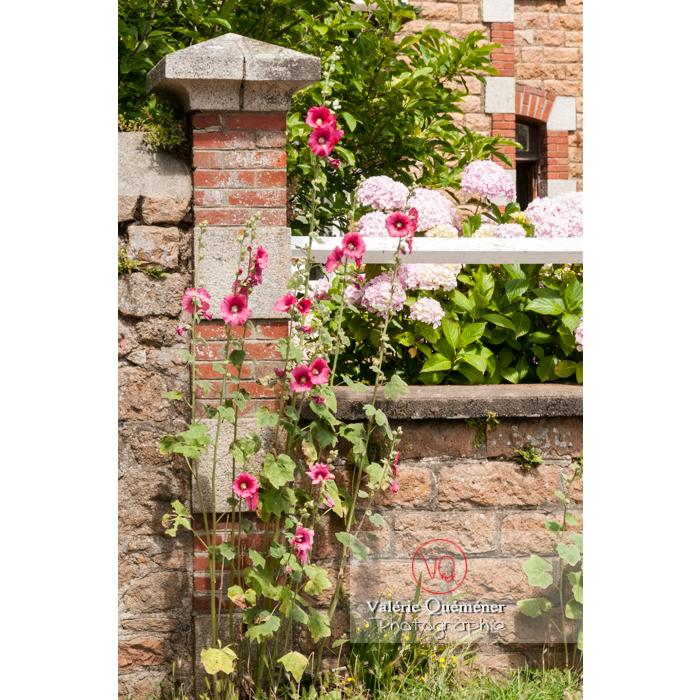 Roses trémières le long d'un muret en pierre sur l'île de Bréhat / Côtes d'Armor / Bretagne - Réf : VQFR22-1010 (Q2)