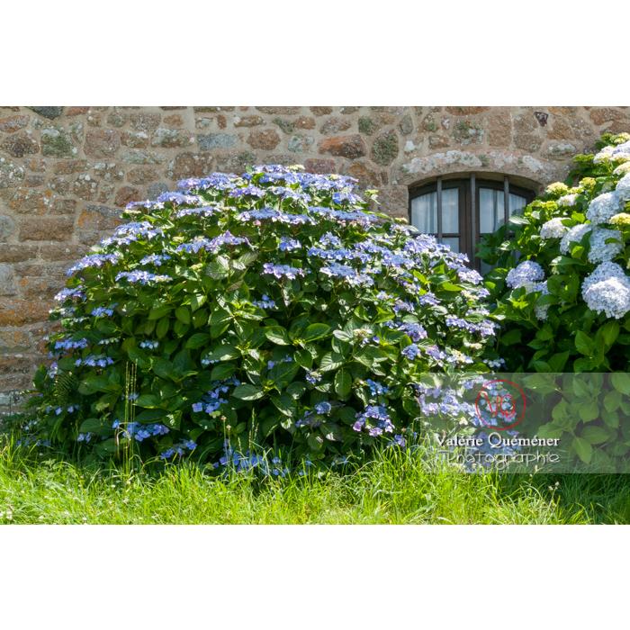 Massif d'hortensias bleues devant la façade d'une maison en pierre sur l'île de Bréhat / Côtes d'Armor / Bretagne - Réf : VQFR22-1011 (Q2)