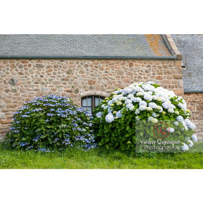 Massif d'hortensia devant la façade d'une maison en pierre sur l'île de Bréhat / Côtes d'Armor / Bretagne - Réf : VQFR22-1013 (Q2)