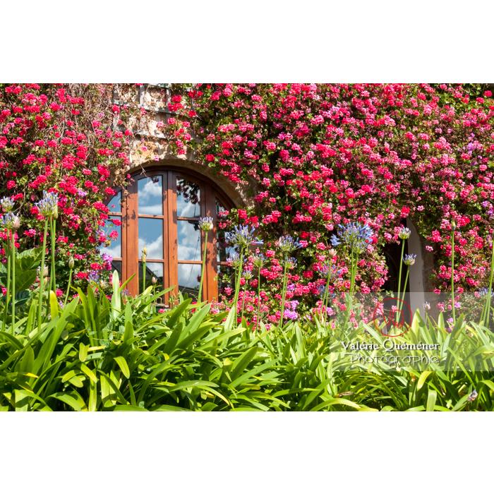 Massif d'agapanthes et rosier sur la façade d'une maison en pierre sur l'île de Bréhat / Côtes d'Armor / Bretagne - Réf : VQFR22-1014 (Q2)
