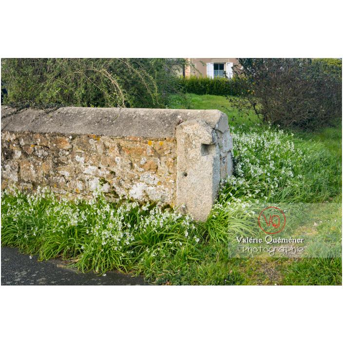 Allium triquetrum proliférant autour d'un muret de maison à Port-Blanc, commune de Penvénan / Côtes d'Armor (22) / France - Réf : VQFR22-3046 (Q3)