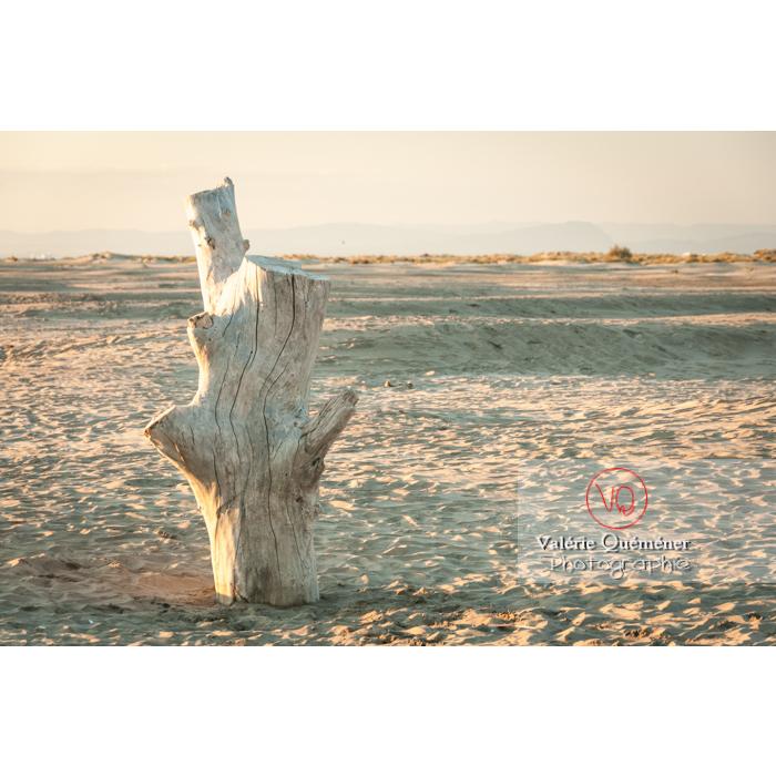 Souche d'arbre blanchi sur la plage de l'Espiguette / Gard - Réf : VQFR30-0091 (Q2)