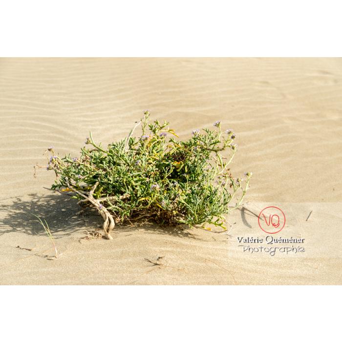 Plante de sable à la pointe de l'Espiguette en petite camargue / Gard / Occitanie - Réf : VQFR30-0263 (Q3)