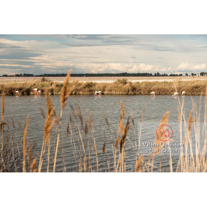 Flamands roses dans les étangs de la petite camargue / Gard / Occitanie - Réf : VQFR30-0285 (Q3)