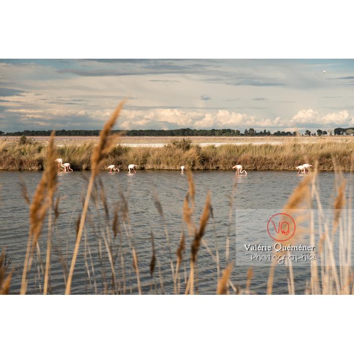 Flamands roses dans les étangs de la petite camargue / Gard / Occitanie - Réf : VQFR30-0286 (Q3)
