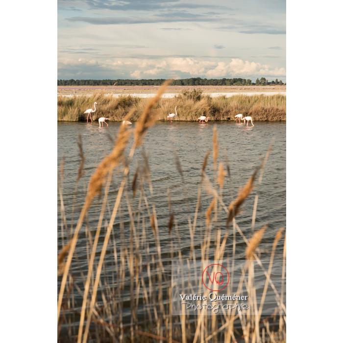 Flamands roses dans les étangs de la petite camargue / Gard / Occitanie - Réf : VQFR30-0287 (Q3)