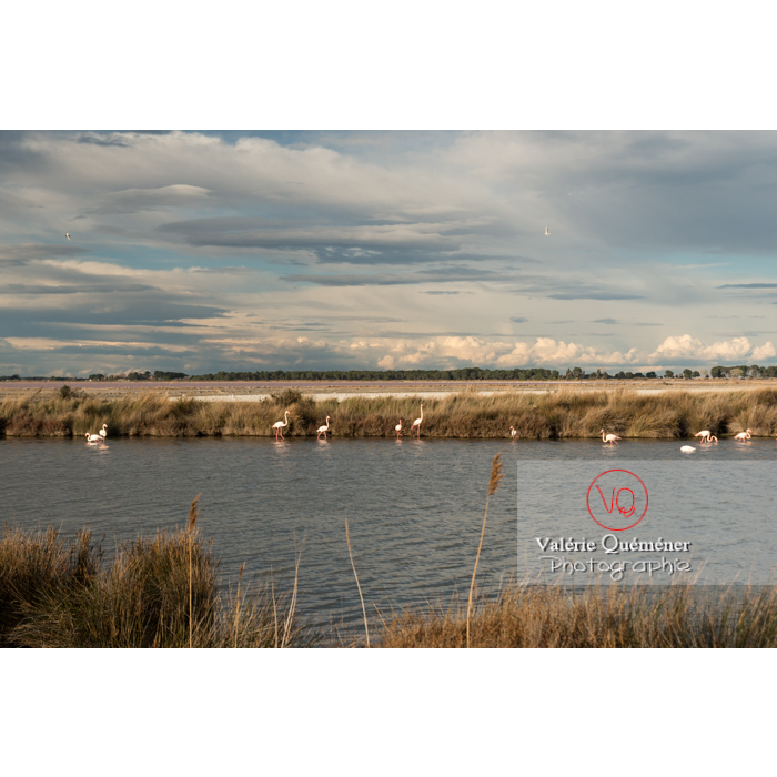 Flamands roses dans les étangs de la petite camargue / Gard / Occitanie - Réf : VQFR30-0288 (Q3)