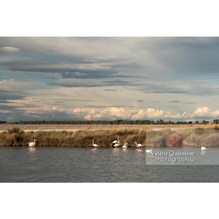 Flamands roses dans les étangs de la petite camargue / Gard / Occitanie - Réf : VQFR30-0289 (Q3)