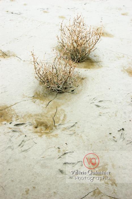 Plantes halophytes dans la baie du Mont-St-Michel / Normandie - Réf : VQFR50-0041 (Q1)