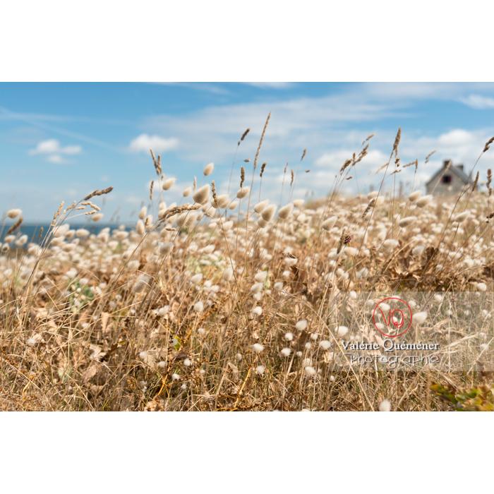 Queue-de-lièvre (lagurus ovatus) au bord sur la côte sauvage sur la presqu'île de Quiberon / Morbihan / Bretagne / France - Réf : VQFR56-0505 (Q3)