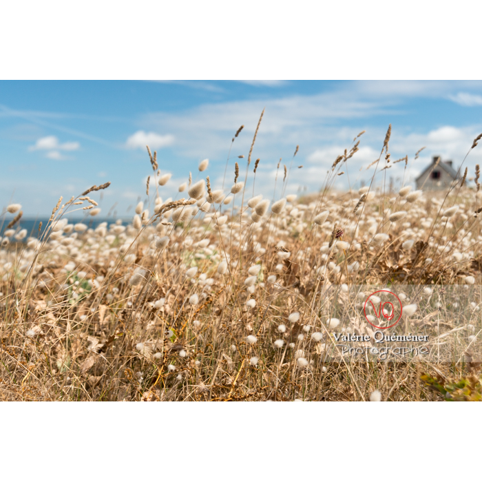 Queue-de-lièvre au bord sur la côte sauvage sur la presqu'île de Quiberon / Morbihan / Bretagne / France - Réf : VQFR56-0505 (Q3)