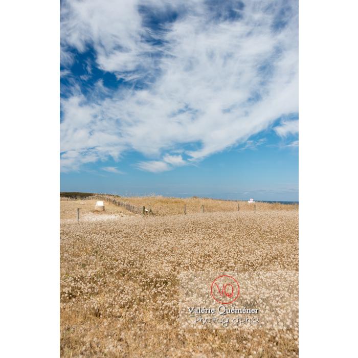 Cirrus et champ de queue-de-lièvre sur la côte sauvage sur la presqu'île de Quiberon / Morbihan / Bretagne / France - Réf : VQFR56-0509 (Q3)