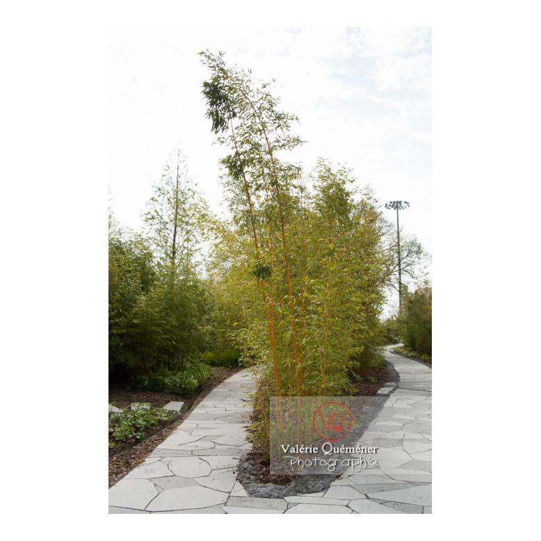Haie en bambous dans le jardin des Géants, Lille / Nord (59) / Hauts-de-France - Réf : VQFR59-0029 (Q3)