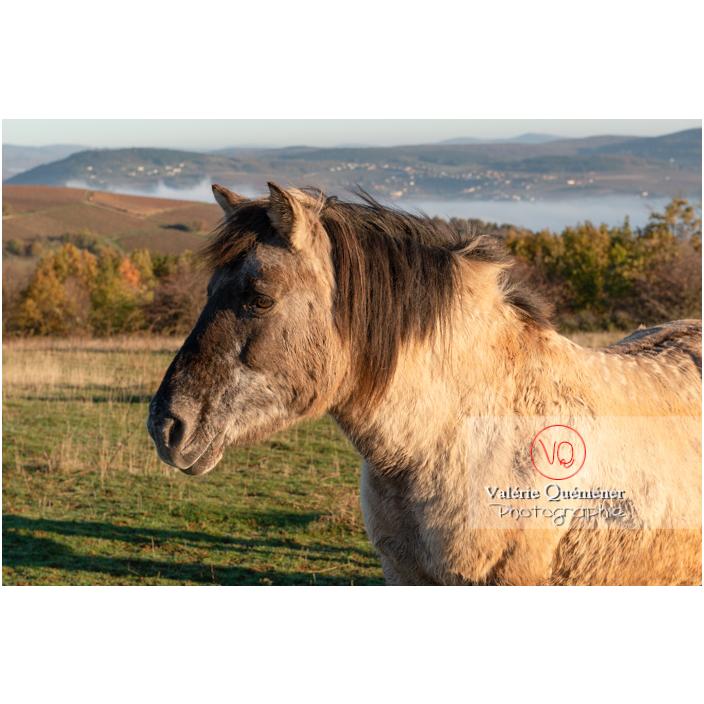 Cheval Konik Polski de la roche Solutré en hiver / Saône-et-Loire (71) / Bourgogne-Franche-Comté - Réf : VQFR71-4312 (Q3)