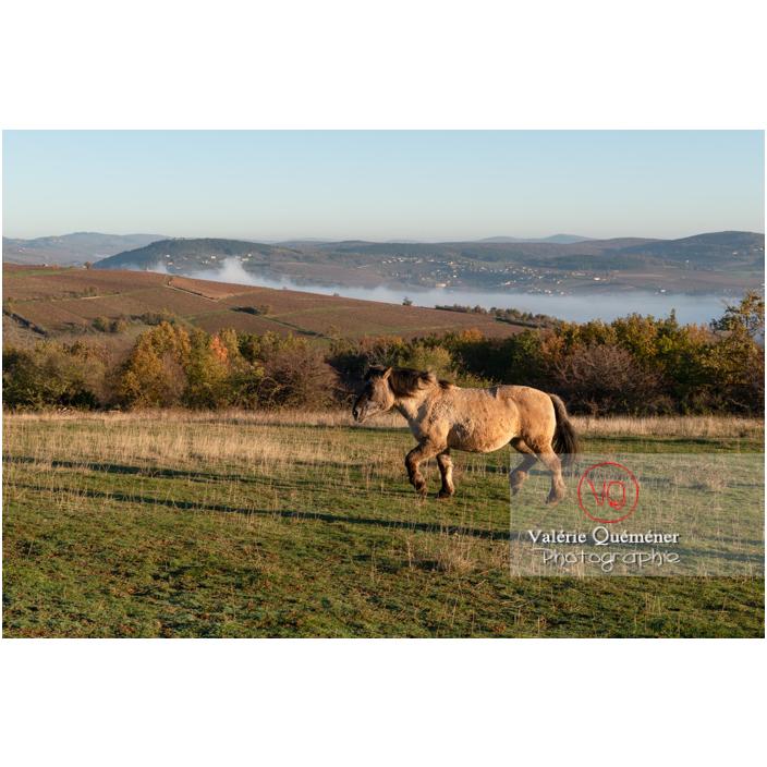 Cheval Konik Polski de la roche Solutré au trot dans un pré en hiver / Saône-et-Loire (71) / Bourgogne-Franche-Comté - Réf : VQFR71-4314 (Q3)
