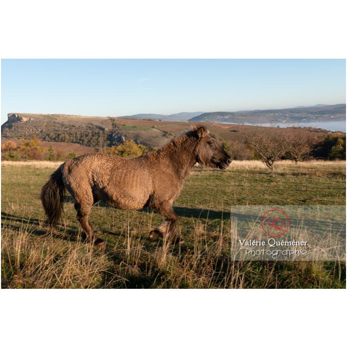 Cheval Konik Polski de la roche Solutré au trot dans un pré en hiver / Saône-et-Loire (71) / Bourgogne-Franche-Comté - Réf : VQFR71-4327 (Q3)