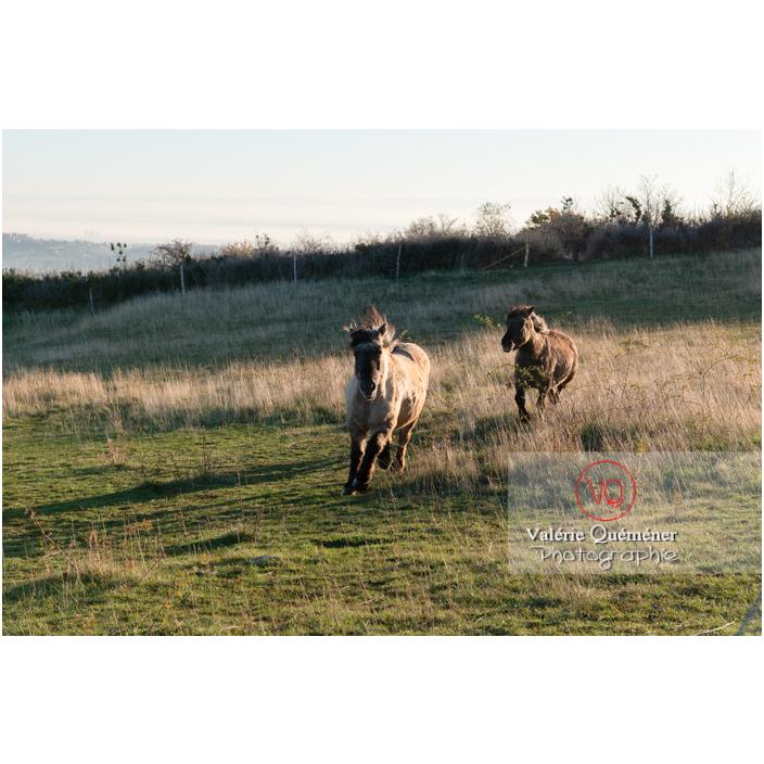 Chevaux Konik Polski de la roche Solutré au trot dans un pré en hiver / Saône-et-Loire (71) / Bourgogne-Franche-Comté - Réf : VQFR71-4328 (Q3)