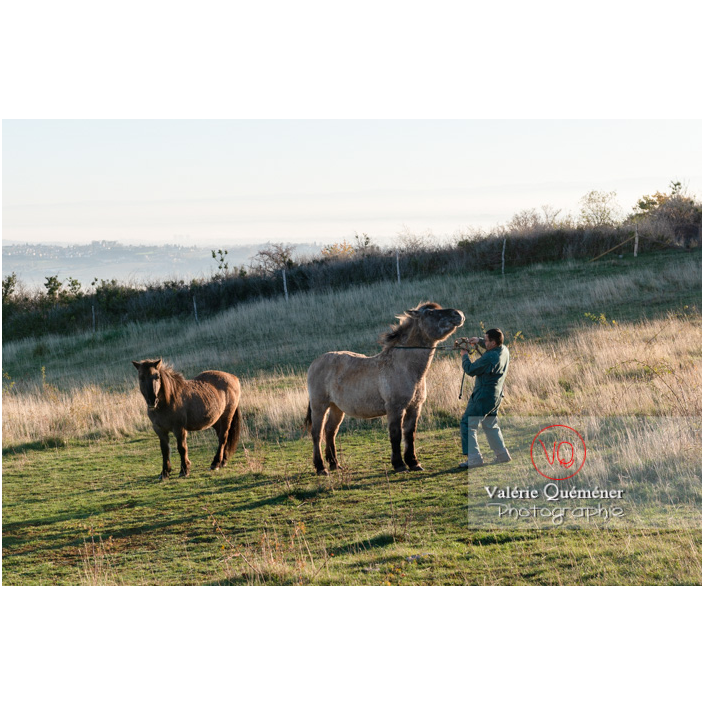 Préparation des chevaux Konik Polski de la roche Solutré pour la transhumance d'hiver / Saône-et-Loire (71) / Bourgogne-Franche-Comté - Réf : VQFR71-4342 (Q3)