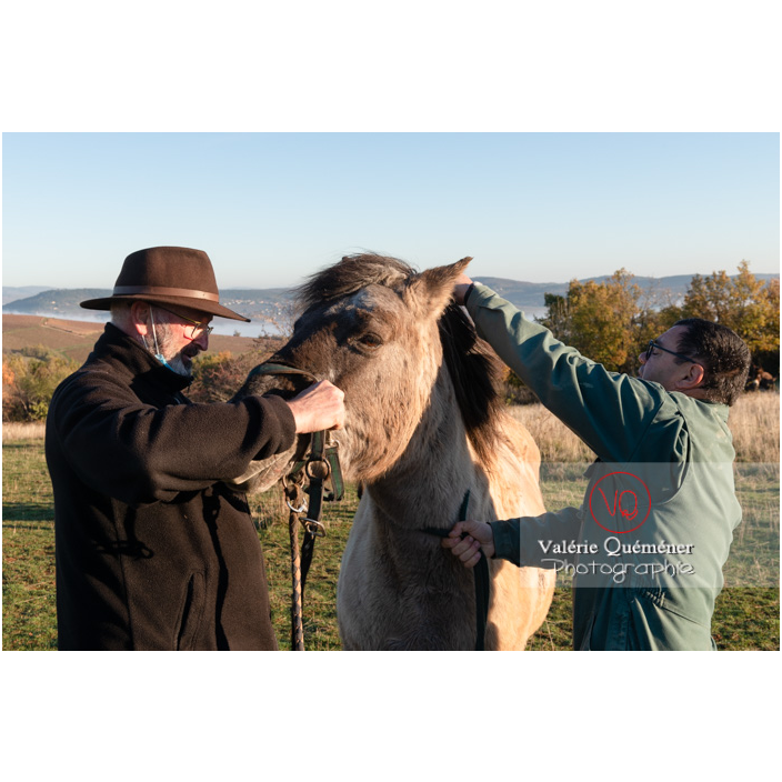 Préparation d'un cheval Konik Polski de la roche Solutré pour la transhumance d'hiver / Saône-et-Loire (71) / Bourgogne-Franche-Comté - Réf : VQFR71-4350 (Q3)