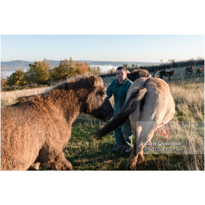 Préparation des chevaux Konik Polski de la roche Solutré pour la transhumance d'hiver / Saône-et-Loire (71) / Bourgogne-Franche-Comté - Réf : VQFR71-4360 (Q3)