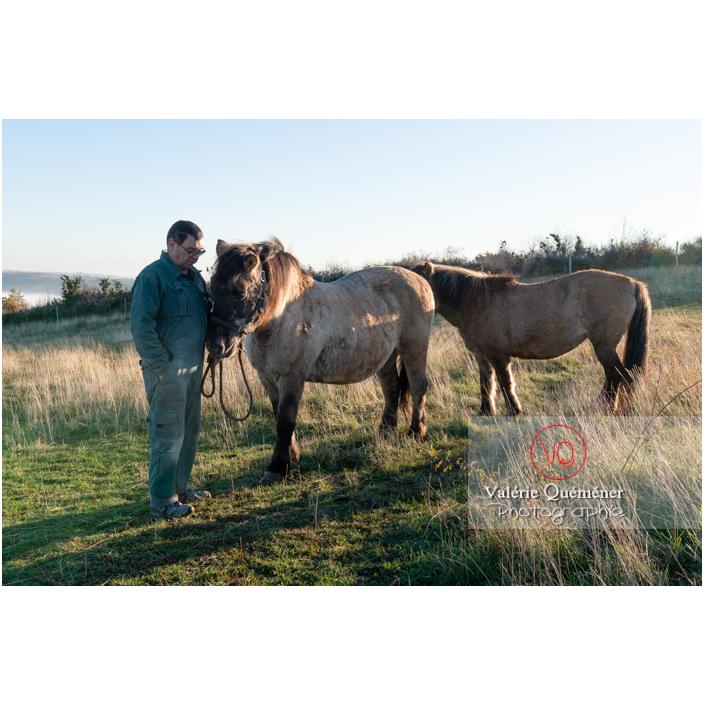 Préparation des chevaux Konik Polski de la roche Solutré pour la transhumance d'hiver / Saône-et-Loire (71) / Bourgogne-Franche-Comté - Réf : VQFR71-4361 (Q3)