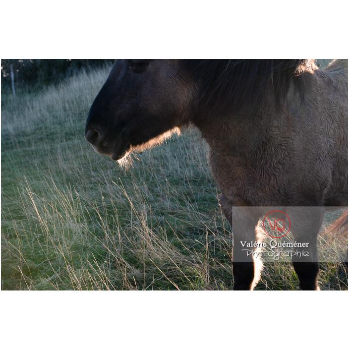 Poils d'hiver d'un cheval Konik Polski de la roche Solutré / Saône-et-Loire (71) / Bourgogne-Franche-Comté - Réf : VQFR71-4384 (Q3)