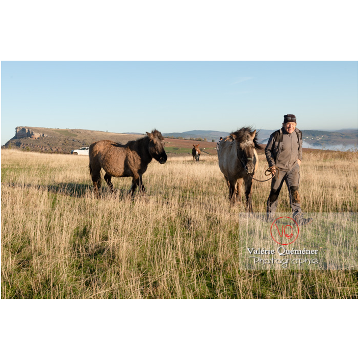 Transhumance des chevaux Konik Polski de la roche Solutré au Mont Pouilly en hiver / Saône-et-Loire (71) / Bourgogne-Franche-Comté - Réf : VQFR71-4396 (Q3)