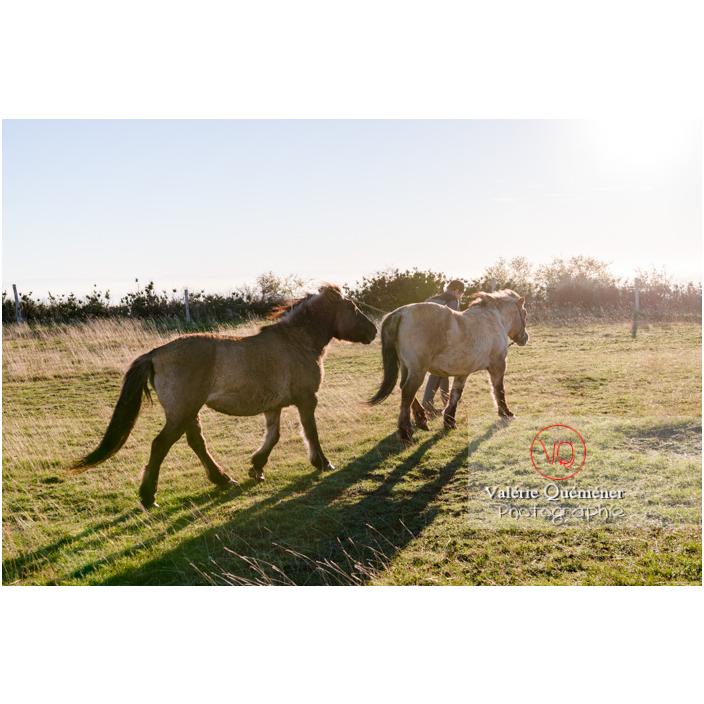 Transhumance des chevaux Konik Polski de la roche Solutré au Mont Pouilly en hiver / Saône-et-Loire (71) / Bourgogne-Franche-Comté - Réf : VQFR71-4401 (Q3)