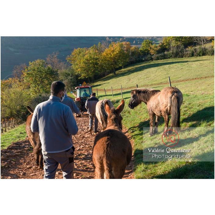 Transhumance des chevaux Konik Polski de la roche Solutré au Mont Pouilly en hiver / Saône-et-Loire (71) / Bourgogne-Franche-Comté - Réf : VQFR71-4416 (Q3)