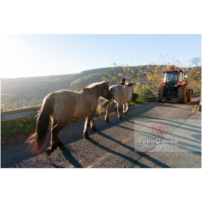 Transhumance des chevaux Konik Polski de la roche Solutré au Mont Pouilly en hiver / Saône-et-Loire (71) / Bourgogne-Franche-Comté - Réf : VQFR71-4435 (Q3)
