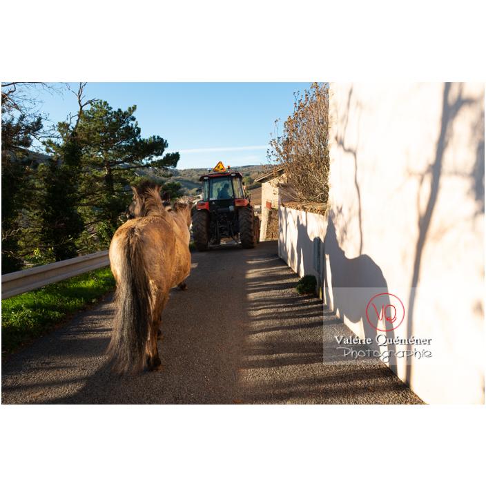 Transhumance des chevaux Konik Polski de la roche Solutré au Mont Pouilly en hiver / Saône-et-Loire (71) / Bourgogne-Franche-Comté - Réf : VQFR71-4440 (Q3)
