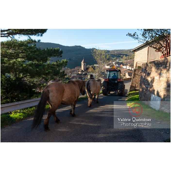 Transhumance des chevaux Konik Polski de la roche Solutré au Mont Pouilly en hiver / Saône-et-Loire (71) / Bourgogne-Franche-Comté - Réf : VQFR71-4442 (Q3)