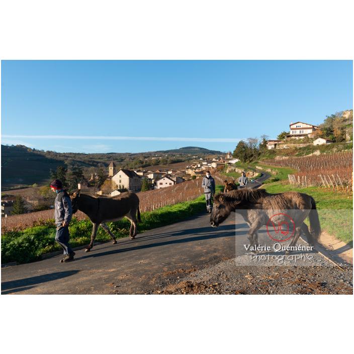 Transhumance des chevaux Konik Polski de la roche Solutré au Mont Pouilly en hiver / Saône-et-Loire (71) / Bourgogne-Franche-Comté - Réf : VQFR71-4457 (Q3)
