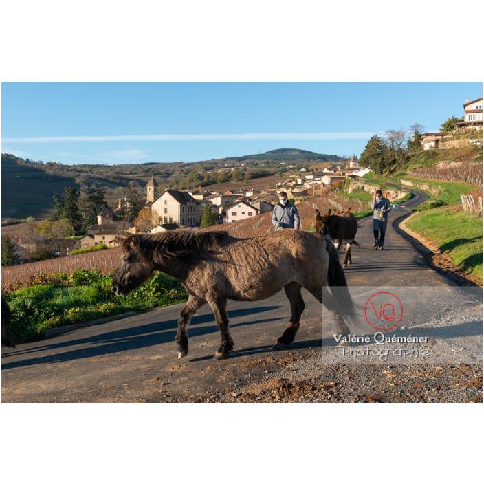 Transhumance des chevaux Konik Polski de la roche Solutré au Mont Pouilly en hiver / Saône-et-Loire (71) / Bourgogne-Franche-Comté - Réf : VQFR71-4458 (Q3)