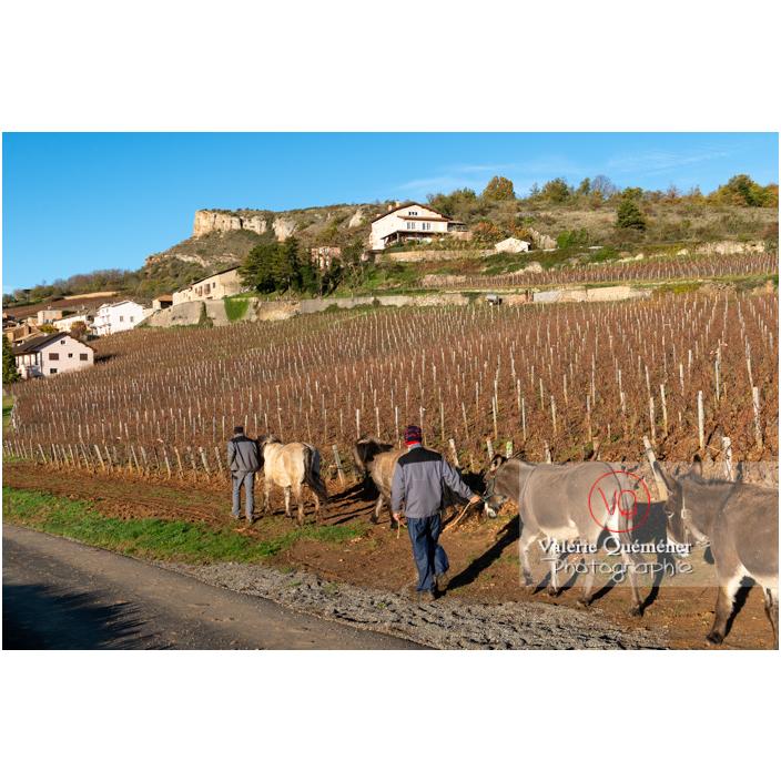 Transhumance des chevaux Konik Polski de la roche Solutré au Mont Pouilly en hiver / Saône-et-Loire (71) / Bourgogne-Franche-Comté - Réf : VQFR71-4470 (Q3)