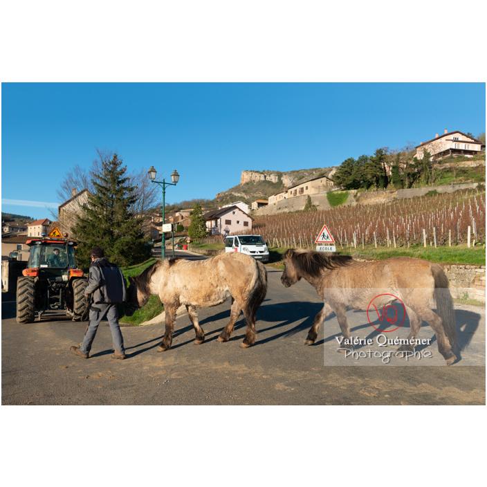 Transhumance des chevaux Konik Polski de la roche Solutré au Mont Pouilly en hiver / Saône-et-Loire (71) / Bourgogne-Franche-Comté - Réf : VQFR71-4475 (Q3)