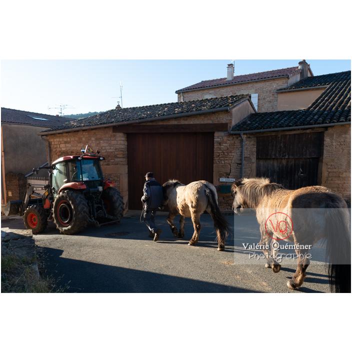 Transhumance des chevaux Konik Polski dans le village de Solutré en hiver / Saône-et-Loire (71) / Bourgogne-Franche-Comté - Réf : VQFR71-4477 (Q3)