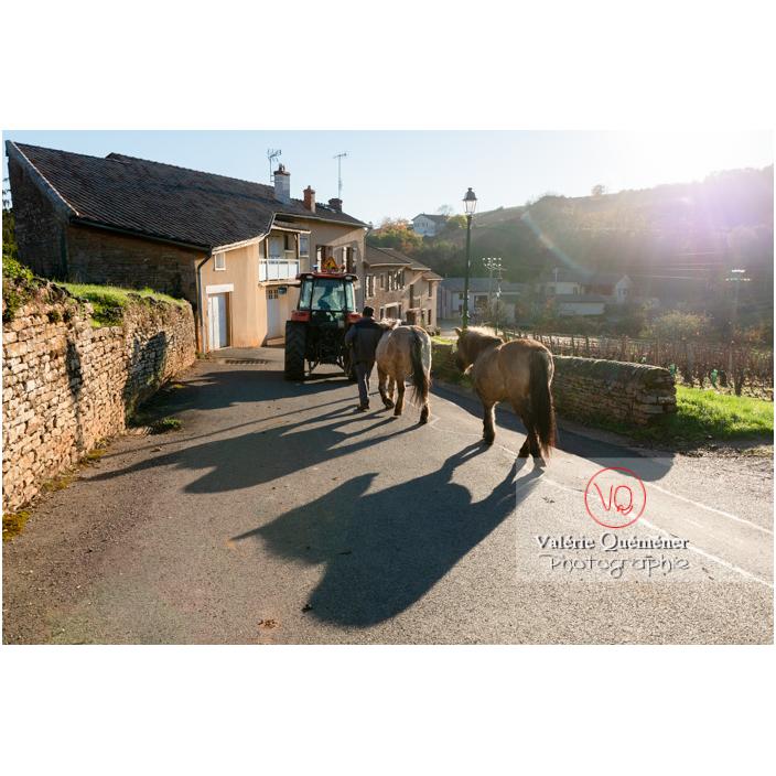 Transhumance des chevaux Konik Polski dans le village de Solutré en hiver / Saône-et-Loire (71) / Bourgogne-Franche-Comté - Réf : VQFR71-4490 (Q3)