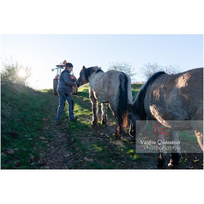 Transhumance des chevaux Konik Polski de la roche Solutré au Mont Pouilly en hiver / Saône-et-Loire (71) / Bourgogne-Franche-Comté - Réf : VQFR71-4516 (Q3)