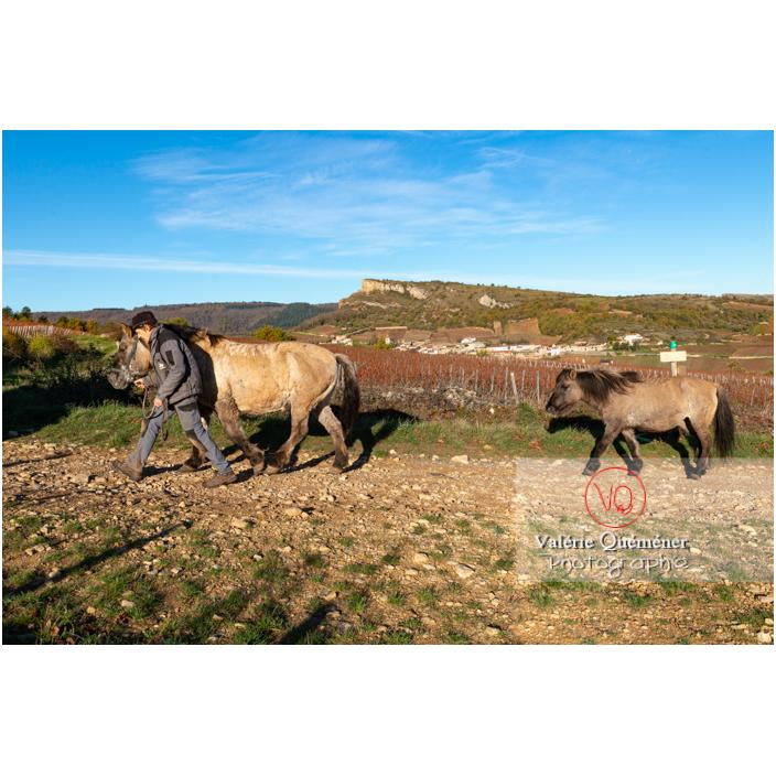 Transhumance des chevaux Konik Polski de la roche Solutré au Mont Pouilly en hiver / Saône-et-Loire (71) / Bourgogne-Franche-Comté - Réf : VQFR71-4546 (Q3)