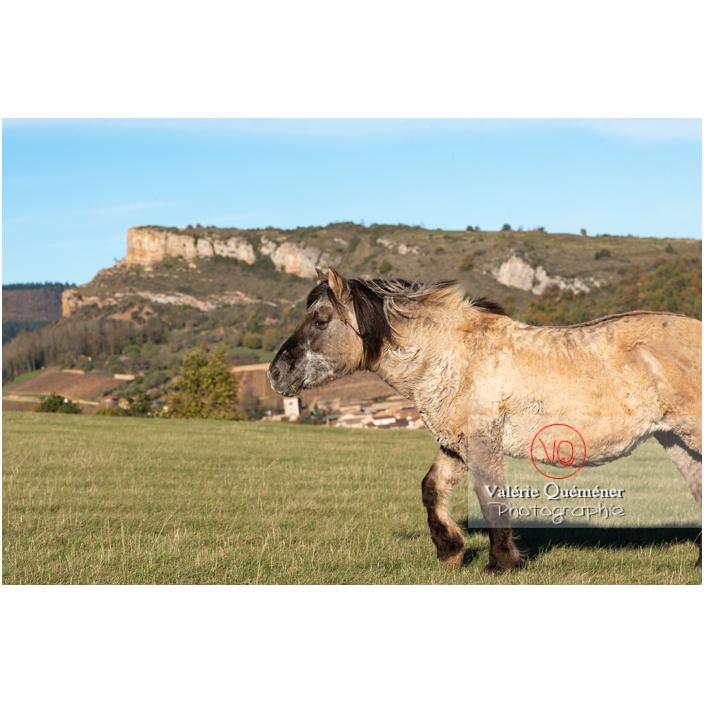 Cheval Konik Polski au Mont Pouilly devant la roche de Solutré / Saône-et-Loire (71) / Bourgogne-Franche-Comté - Réf : VQFR71-4574 (Q3)