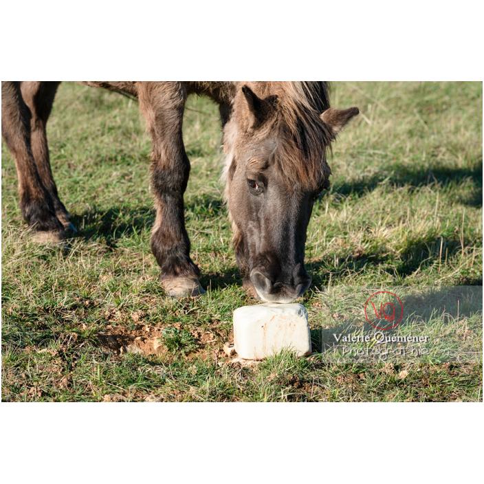 Cheval Konik Polski se nourrissant des minéraux d'une pierre de sel au Mont Pouilly / Saône-et-Loire (71) / Bourgogne-Franche-Comté - Réf : VQFR71-4586 (Q3)