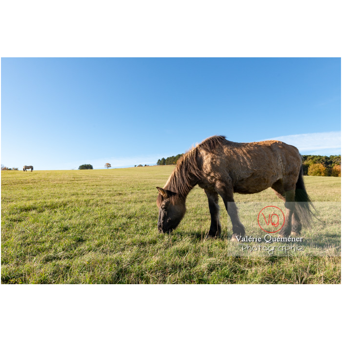 Cheval Konik Polski au Mont Pouilly / Saône-et-Loire (71) / Bourgogne-Franche-Comté - Réf : VQFR71-4601 (Q3)