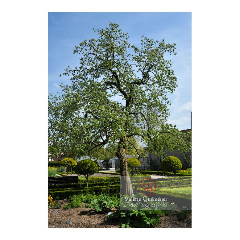 Cognassier au jardin des plantes d'Amiens / Somme / Hauts-de-France - Réf : VQFR80-0014 (Q2)